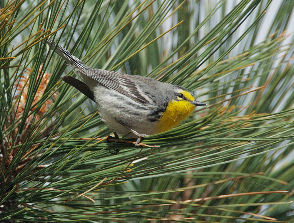 Grace's Warbler, male, 4/23/11, Rose Canyon, Mount Lemmon, AZ