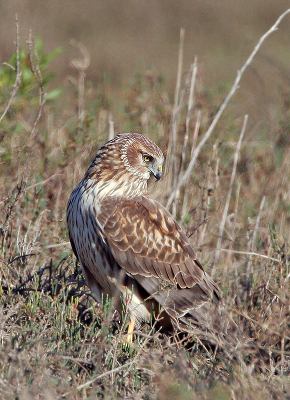 Northern Harrier, female, 3/7/05, Palo Alto Baylands