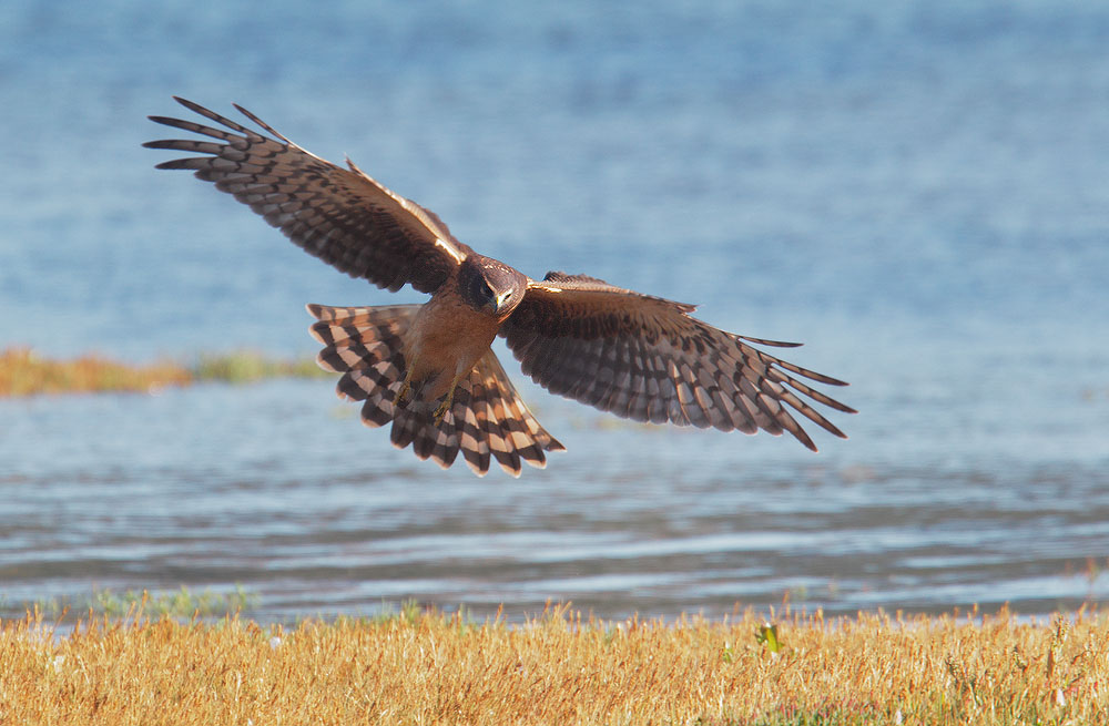 Northern Harrier, juvenile, 9/11/10, Nehalem Bay State Park, Manzanita, OR